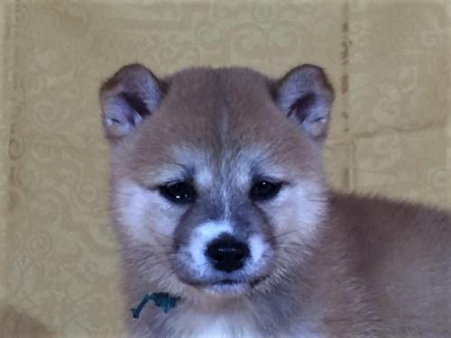 柴犬の子犬(ID:1262511361)の1枚目の写真/更新日:2017-08-12