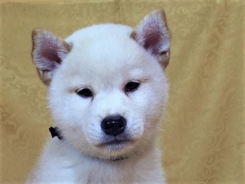 柴犬の子犬(ID:1262511362)の1枚目の写真/更新日:2017-08-04