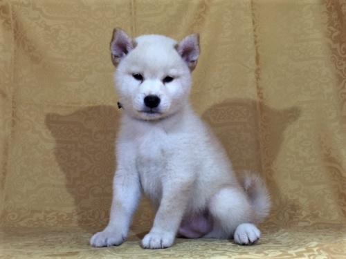 柴犬の子犬(ID:1262511362)の3枚目の写真/更新日:2017-08-04