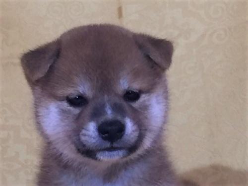 柴犬の子犬(ID:1262511363)の1枚目の写真/更新日:2017-08-15