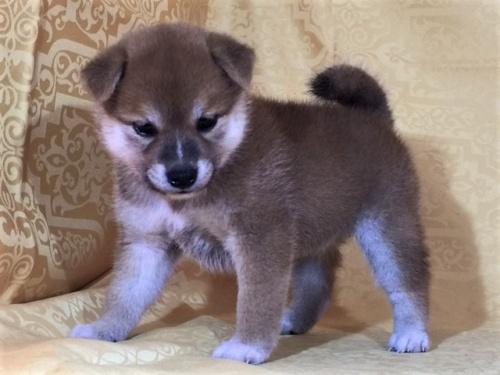 柴犬の子犬(ID:1262511363)の2枚目の写真/更新日:2017-08-15