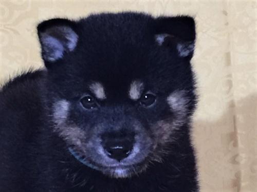 柴犬の子犬(ID:1262511364)の1枚目の写真/更新日:2017-08-18