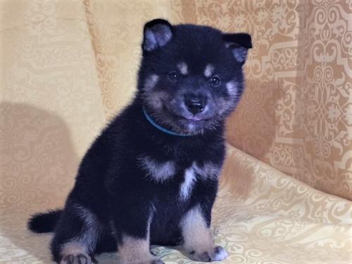柴犬の子犬(ID:1262511364)の2枚目の写真/更新日:2017-08-18
