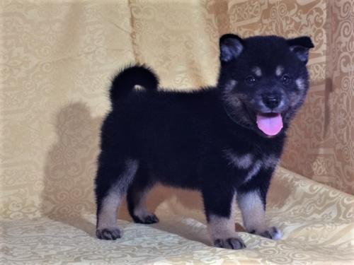 柴犬の子犬(ID:1262511364)の3枚目の写真/更新日:2017-08-18