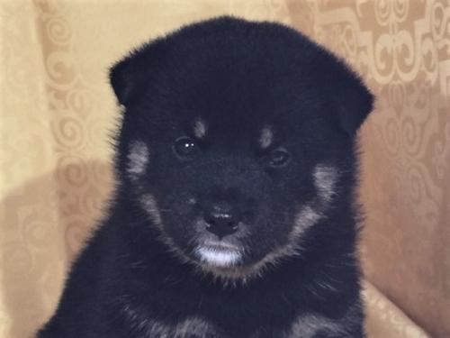 柴犬の子犬(ID:1262511365)の1枚目の写真/更新日:2017-08-07