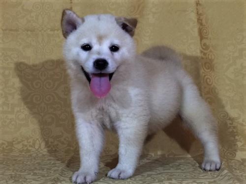 柴犬の子犬(ID:1262511366)の3枚目の写真/更新日:2017-08-18