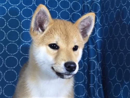 柴犬の子犬(ID:1262511367)の1枚目の写真/更新日:2017-08-18