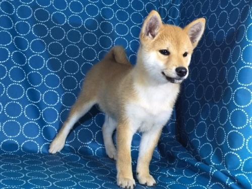 柴犬の子犬(ID:1262511367)の2枚目の写真/更新日:2017-08-18
