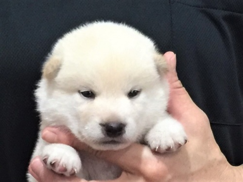 柴犬の子犬(ID:1262511368)の1枚目の写真/更新日:2017-08-10