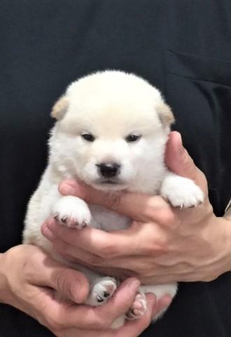 柴犬の子犬(ID:1262511368)の2枚目の写真/更新日:2017-08-10