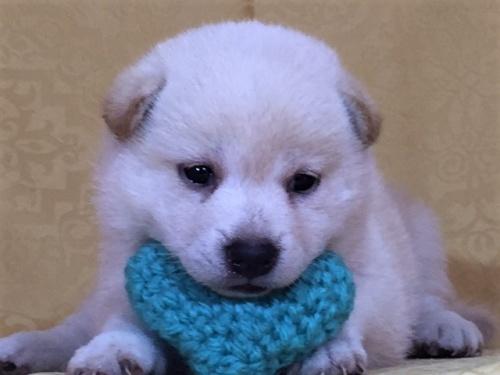 柴犬の子犬(ID:1262511369)の1枚目の写真/更新日:2017-08-18
