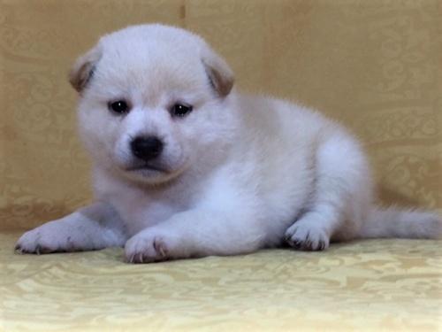 柴犬の子犬(ID:1262511369)の2枚目の写真/更新日:2017-08-18