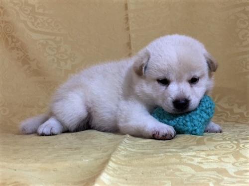 柴犬の子犬(ID:1262511369)の3枚目の写真/更新日:2017-08-18