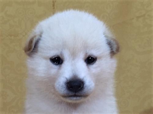 柴犬の子犬(ID:1262511370)の1枚目の写真/更新日:2017-08-18