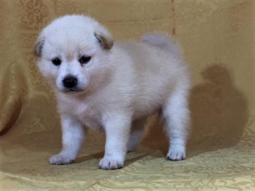 柴犬の子犬(ID:1262511370)の2枚目の写真/更新日:2017-08-18