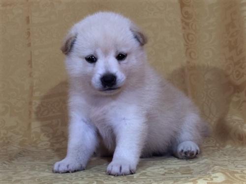柴犬の子犬(ID:1262511370)の3枚目の写真/更新日:2017-08-18
