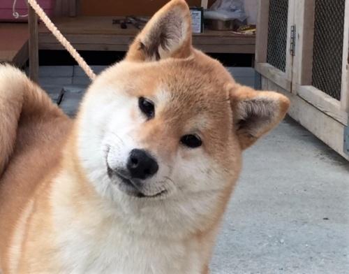 柴犬の子犬(ID:1262511382)の1枚目の写真/更新日:2017-12-11