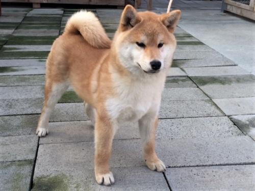 柴犬の子犬(ID:1262511382)の3枚目の写真/更新日:2017-12-11