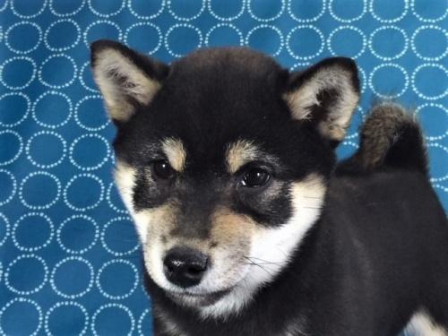 柴犬の子犬(ID:1262511388)の1枚目の写真/更新日:2017-11-30