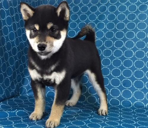 柴犬の子犬(ID:1262511388)の2枚目の写真/更新日:2017-11-30