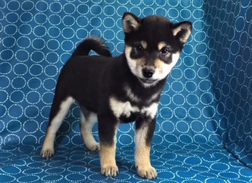柴犬の子犬(ID:1262511388)の3枚目の写真/更新日:2017-11-30