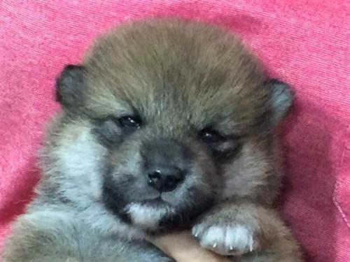 柴犬の子犬(ID:1262511392)の1枚目の写真/更新日:2017-09-15