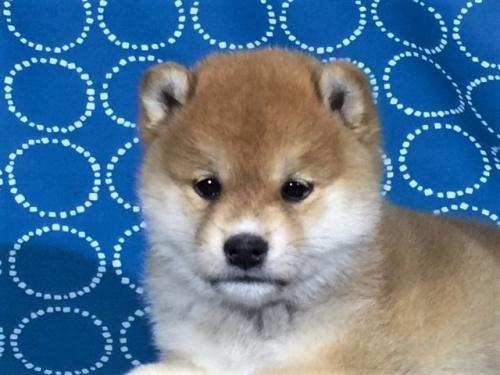 柴犬の子犬(ID:1262511393)の1枚目の写真/更新日:2017-09-23