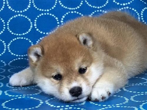 柴犬の子犬(ID:1262511393)の2枚目の写真/更新日:2017-09-23