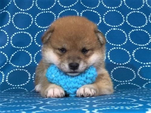 柴犬の子犬(ID:1262511394)の2枚目の写真/更新日:2017-09-23