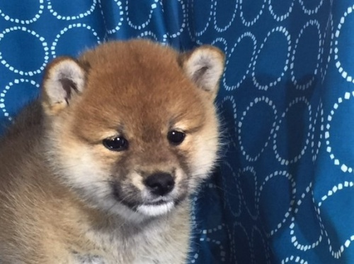 柴犬の子犬(ID:1262511395)の1枚目の写真/更新日:2017-09-23