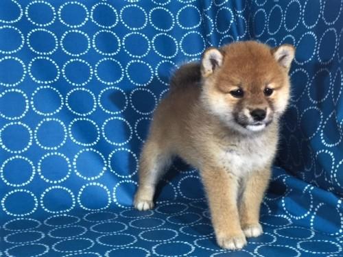 柴犬の子犬(ID:1262511395)の2枚目の写真/更新日:2017-09-23