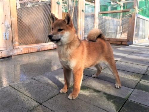 柴犬の子犬(ID:1262511399)の2枚目の写真/更新日:2017-11-30