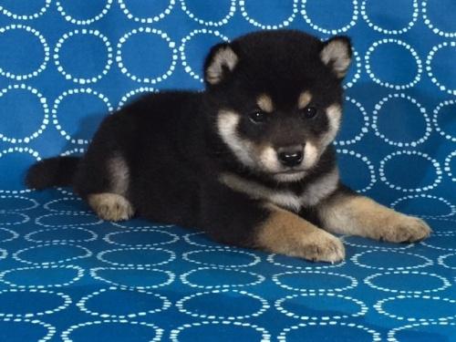 柴犬の子犬(ID:1262511402)の3枚目の写真/更新日:2017-09-24