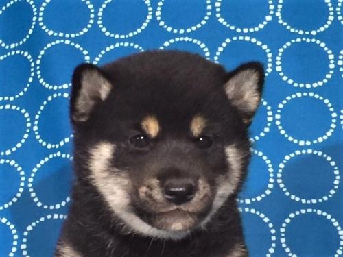 柴犬の子犬(ID:1262511403)の1枚目の写真/更新日:2017-09-24