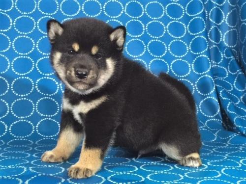 柴犬の子犬(ID:1262511403)の2枚目の写真/更新日:2017-09-24