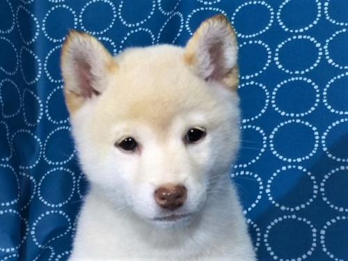 柴犬の子犬(ID:1262511404)の1枚目の写真/更新日:2017-09-24