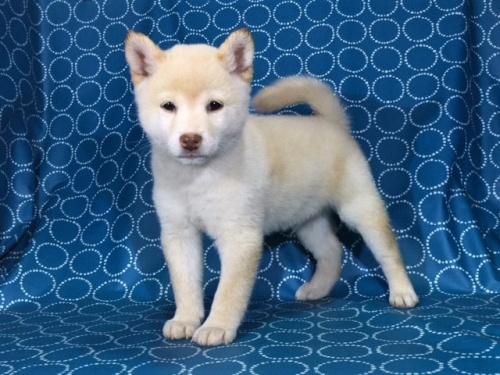 柴犬の子犬(ID:1262511404)の2枚目の写真/更新日:2017-09-24