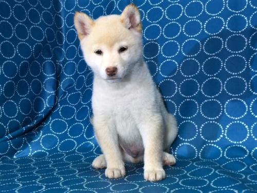柴犬の子犬(ID:1262511404)の3枚目の写真/更新日:2017-09-24