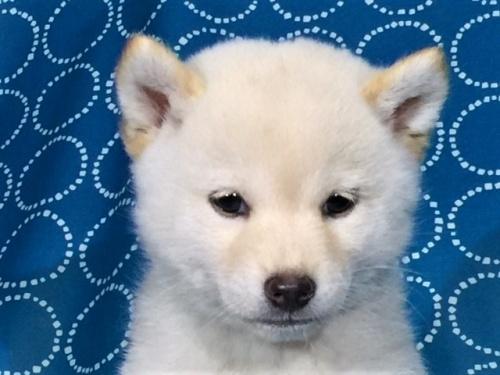 柴犬の子犬(ID:1262511405)の1枚目の写真/更新日:2017-09-24