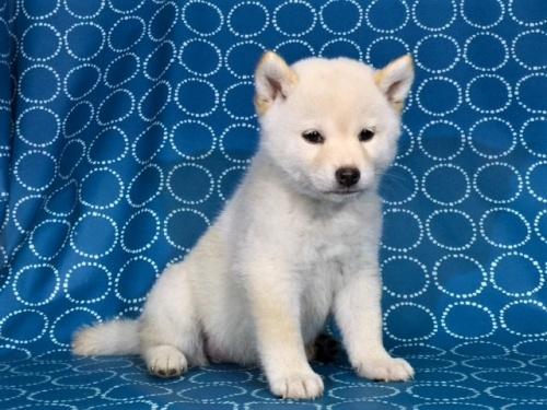 柴犬の子犬(ID:1262511405)の2枚目の写真/更新日:2017-09-24