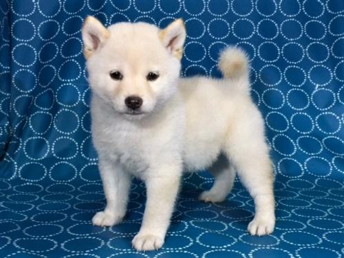 柴犬の子犬(ID:1262511405)の3枚目の写真/更新日:2017-09-24