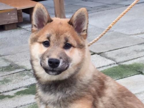 柴犬の子犬(ID:1262511409)の1枚目の写真/更新日:2017-12-07