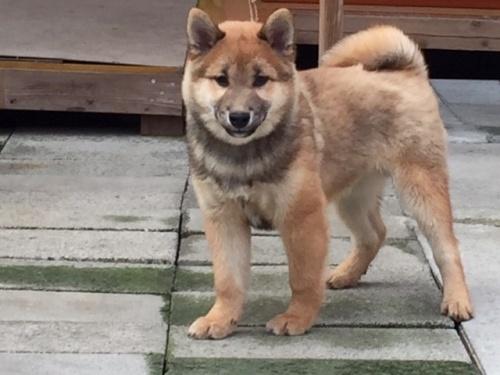 柴犬の子犬(ID:1262511409)の2枚目の写真/更新日:2017-12-07