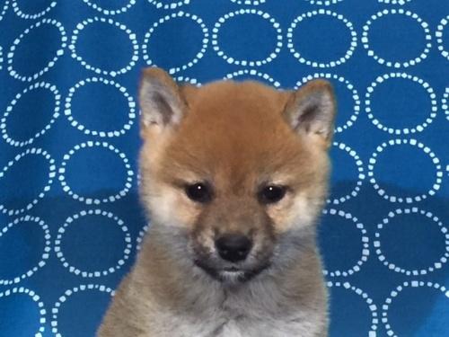 柴犬の子犬(ID:1262511411)の1枚目の写真/更新日:2017-09-25