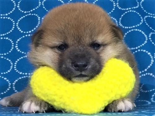 柴犬の子犬(ID:1262511412)の1枚目の写真/更新日:2017-09-25
