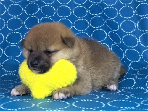 柴犬の子犬(ID:1262511412)の2枚目の写真/更新日:2017-09-25