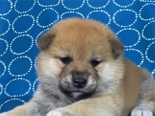 柴犬の子犬(ID:1262511413)の1枚目の写真/更新日:2017-09-25