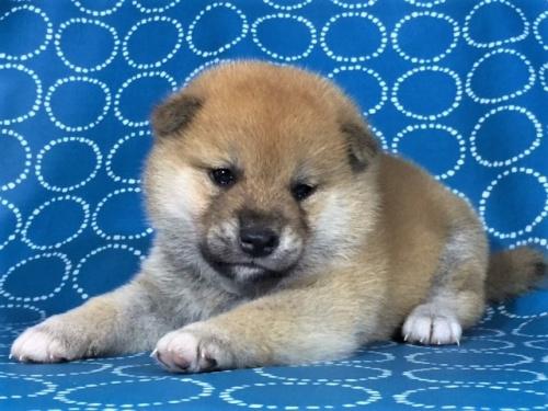 柴犬の子犬(ID:1262511413)の2枚目の写真/更新日:2017-09-25