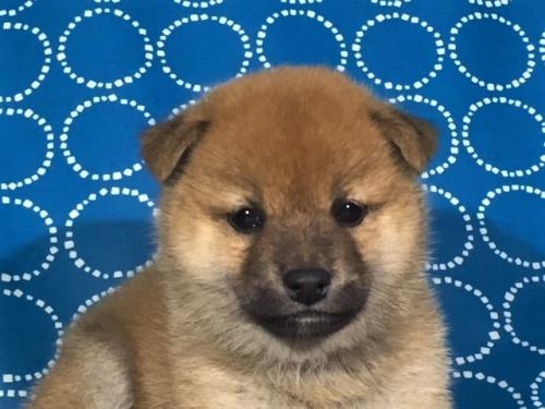柴犬の子犬(ID:1262511414)の1枚目の写真/更新日:2017-09-25