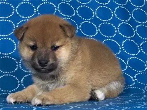 柴犬の子犬(ID:1262511414)の2枚目の写真/更新日:2017-09-25